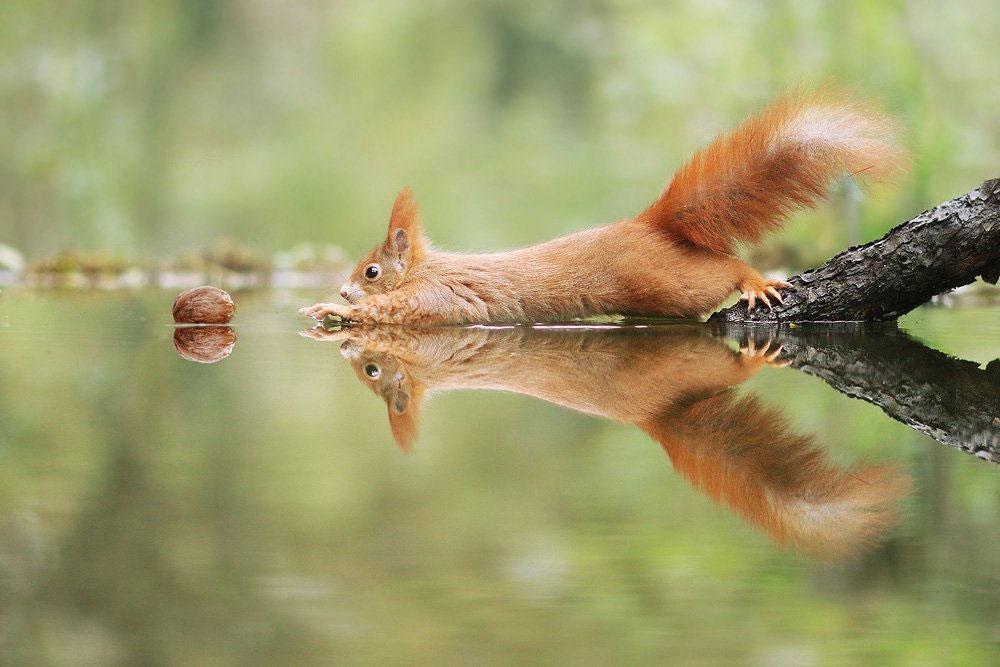 Un petit écureuil tente d'attraper une noix